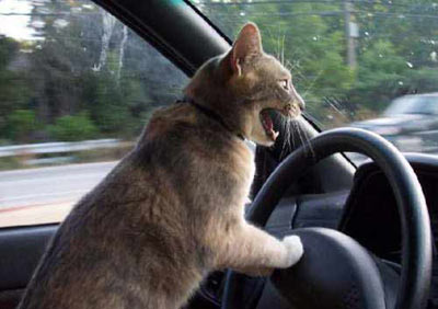Cat driving around the town