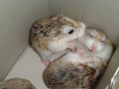 Two hamsters tickle each other