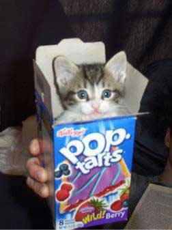 Cat in pop tarts box